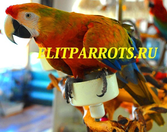 Гибрид попугаев ара.